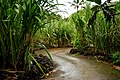 Path between sugar canes (5216462193).jpg
