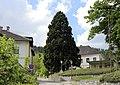 Payerbach - Mammutbaum (Karl-Feldbacher-Strasse).JPG