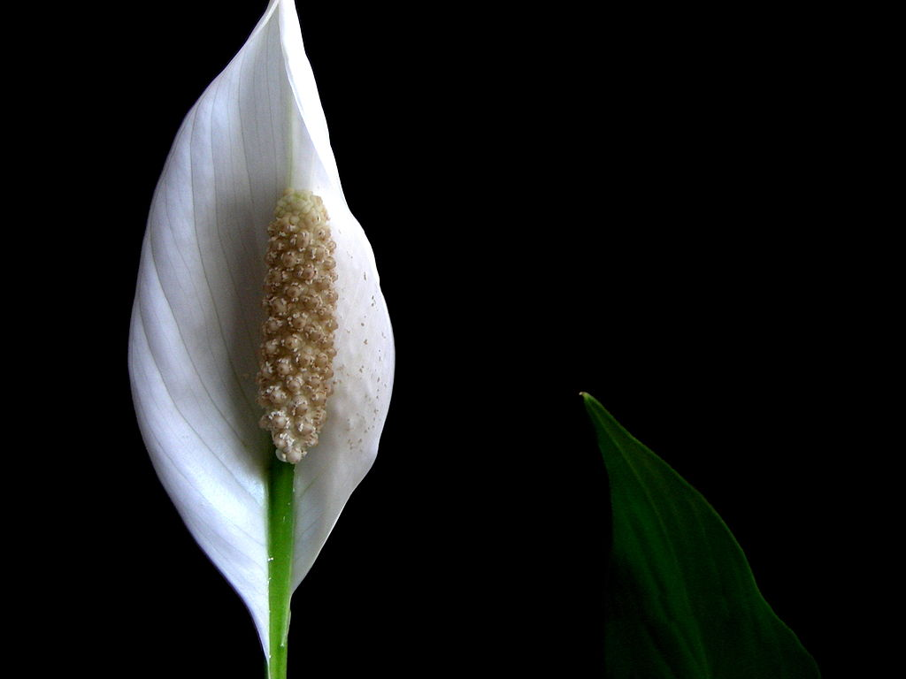 Peace lily flower