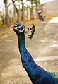 Peacock By Anis Shaikh 06.jpg