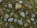 Pebbles, lichen and rough grass, Northam Burrows - geograph.org.uk - 961045.jpg