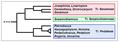 Pedaliaceae - Cladogramma della famiglia.png