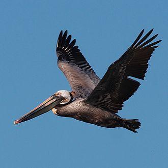 Vandenberg State Marine Reserve - Brown Pelican