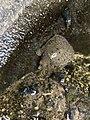 Pelodiscus sinensis 98655205.jpg