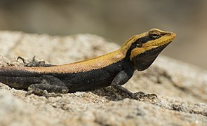 Peninsular Rock Agama Basking.jpg