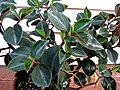 Peperomia sp. 1 (5399814016).jpg
