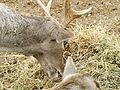 Persian Fallow Deer feeding 01.jpg
