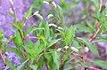 Persicaria lapathifolia (8341363315).jpg