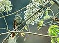Phacellodomus dorsalis - Chestnut-backed Thornbird 2.jpg