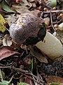 Phallus hadriani 44446688.jpg