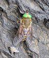 Philipomyia aprica.jpg