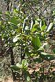 Phillyrea latifolia kz2.jpg