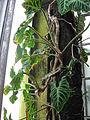 PhilodendronVerrucosum.jpg