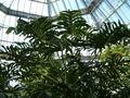 Philodendron bipinnatifidum BotGardBln1105HabitusA.JPG