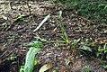 Philodendron variifolium 1zz.jpg