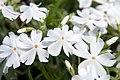 Phlox subulata Calvides White 0zz.jpg