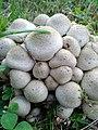 Pholiota gummosa 95748776.jpg