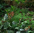 Photinia sp. ^ Dicentra Bacchanal - Flickr - peganum.jpg