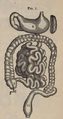 Physiology for Young People - 1884 - Stomach and intestines.png