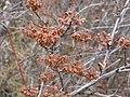 Physocarpus malvaceus (5069894578).jpg