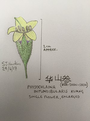 Physochlaina - Single flower of Physochlaina infundibularis Kuang - the 'hot ginseng' of Mount Hua, Shaanxi province.