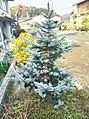 Picea pungens Hoopsii201601.jpg