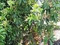 Pieris japonica Historyland Supreme 0zz.jpg