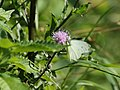Pieris rapae (19753509395).jpg