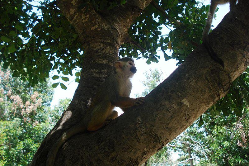 קוף על עץ בפארק