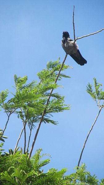 עורב על עץ