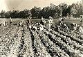 PikiWiki Israel 3824 Agriculture in Israel.jpg