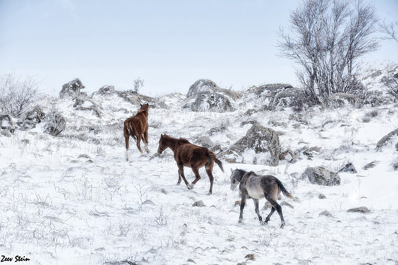 סוסים בגולן