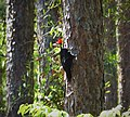 Pileated Woodpecker, adult male. Dryocopus pileatus (37744755845).jpg