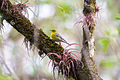 Pine warbler (24377695794).jpg