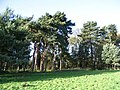 Pines at the edge of Wrautum Field - geograph.org.uk - 284618.jpg