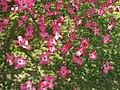 Pink-dogwood-tree-flowers ForestWander.JPG