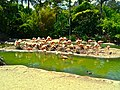 Pink Flamingos - panoramio (1).jpg