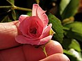 Pink Miniature Rose.jpg