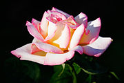 Rosa 'Cajun Sunrise', a modern Hybrid Tea rose