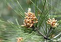 Pinus brutia - Flowers 03.jpg