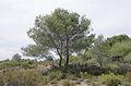 Pinus halepensis, Pinet, Hérault 02.jpg