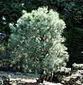 Pinus s. watereri.jpg