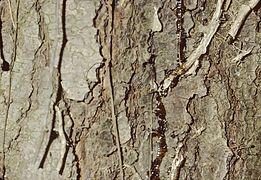 Pinus strobus bark.jpg