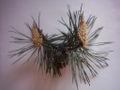 Pinus sylvestris 0001-1.jpg