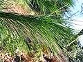 Pinus wallichiana 2.JPG