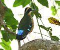 Pitta angolensis longipennis, Mosambiek, Birding Weto, a.jpg