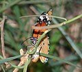 Plain Tiger Danaus chrysippus (3565241377).jpg