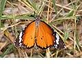 Plain Tiger Danaus chrysippus (3565241379).jpg