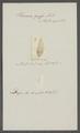 Planaria grossa - - Print - Iconographia Zoologica - Special Collections University of Amsterdam - UBAINV0274 105 09 0016.tif