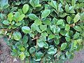 Plant fig1.jpg